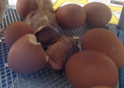 Chicks hatching at Greatworth PreSchool Near Brackley